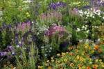 Thumbnail Bed of flowers with Helenium, Black Cumin and Painted Sage Helenium hybride, Nigella damascena, Salvia viridis, Salvia horminum