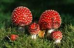 Thumbnail Young Fly Amanita Mushrooms, Schleswig-Holstein, Germany Amanita muscaria
