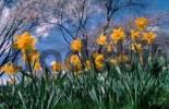 Thumbnail Daffodils Saint Keverne Narcissus
