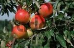 Thumbnail Apples Cox Orange on tree, Lower Saxony, Germany Malus x domestica