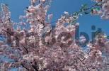 Thumbnail Blooming Japanese Cherry Accolade Prunus hybride