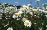 Thumbnail Ox-eye Daisies, Germany Chrysanthemum leucanthemum, Leucanthemum vulgare