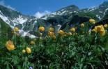 Thumbnail Globe Flower, national park Hohe Tauern, Austria Trollius europaeus