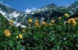 Thumbnail Trollblume, Nationalpark Hohe Tauern, Oesterreich Trollius europaeus Alpen