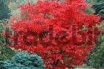 Thumbnail Japanese Maple in autumn Acer palmatumOsakazuki