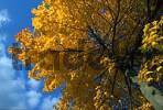Thumbnail Norway Maple in autumn Acer platanoides