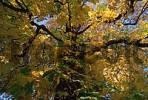 Thumbnail Horse Chestnut in autumn, Schleswig-Holstein, Germany Aesculus hippocastanum
