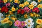 Thumbnail Primroses Primula spec.