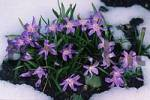 Thumbnail Glory-of-the-Snow Chionodoxa luciliae