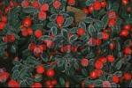 Thumbnail Cotoneaster, berries Cotoneaster spec.