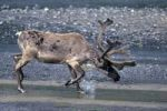 Thumbnail Reindeer Rangifer tarandus in the water, Denali National Park, Alaska, USA