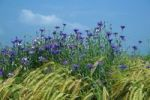 Thumbnail Cornflowers Centaurea cyanus in a barley field, Allgaeu, Germany, Europe