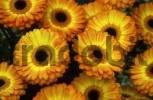 Thumbnail Flowers Gerbera