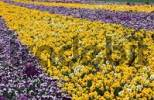 Thumbnail Flower bed with Pansies Viola hybrida