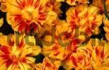 Thumbnail Tulips