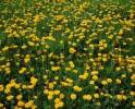 Thumbnail Dandelion meadow, North Rhine-Westphalia, Germany Taraxacum officinale