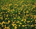 Thumbnail Dandelion meadow, North Rhine-Westphalia, Germany Taraxacum officinale