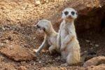 Thumbnail Meerkat or Suricate Suricata suricatta, pups outside a den, South Africa, Africa