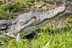 Thumbnail Nile Crocodile Crocodylus niloticus, portrait, South Africa, Africa