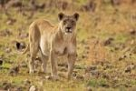 Thumbnail Lioness Panthera leo, Pilanesberg Game Reserve, South Africa, Africa