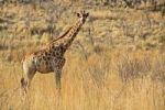 Thumbnail Giraffe Giraffa camelopardalis, Pilanesberg Game Reserve, South Africa, Africa