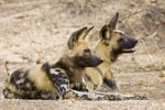 Thumbnail African Wild Dogs Lycaon pictus, Kruger National Park, South Africa