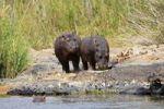 Thumbnail Hippopotamus Hippopotamus amphibius with Oxpeckers Buphagus, Kruger National Park, South Africa
