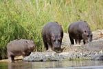 Thumbnail Hippopotamus Hippopotamus amphibius with Oxpeckers Buphagus, Kruger National Park, South Africa