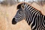 Thumbnail Plains Zebra Equus quagga burchelli, Kruger National Park, South Africa