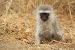 Thumbnail Vervet Monkey Chlorocebus, Kruger National Park, South Africa