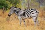Thumbnail Plains Zebra Equus quagga burchelli, Moremi National Park, Moremi Wildlife Reserve, Okavango Delta, Botswana, Africa