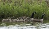 Thumbnail Canada Geese Branta canadensis, family, parents with seven chicks, Bremen, Germany, Europe