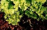 Thumbnail Lettuce Lollo-Rosso-Salat