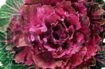 Thumbnail Ornamental Cabbage Brassica aleracea var. cruciferae