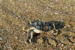 Thumbnail Freshly hatched Sea Turtle Cheloniidae, Cape York, Queensland, Australia