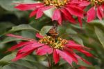 Thumbnail Flowering Christmas Star or Poinsettia Euphorbia pulcherrima with a Monarch Butterfly Danaus plexippus, Canary Islands, Spain, Europe