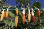 Thumbnail Corn cobs drying on a metal rod, La Gomera, Canary Islands, Spain, Europe