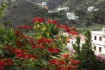 Thumbnail Flowering Christmas Star or Poinsettia Euphorbia pulcherrima, Hermigua, La Gomera, Canary Islands, Spain, Europe