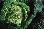 Thumbnail Savoy Cabbage Brassica oleracea spec.