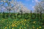 Thumbnail Blooming Cherry trees in Dandelion meadow, Rhineland-Palatinate, Germany Prunus avium, Taraxacum officinale