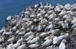 Thumbnail Basstoelpel-Kolonie, Bass Rock, Schottland Morus bassanus, Sula bassana Basstölpel