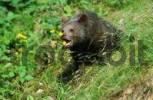 Thumbnail European Brown Bear cub Ursus arctos