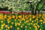 Thumbnail Bed of Tulips, Baden-Wurttemberg, Germany