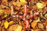 Thumbnail Octopus Stink Horn, Rhineland-Palatinate, Germany Anthurus archeri, Clathrus archeri