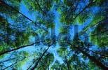 Thumbnail Beech, tree tops in spring, Belgium Fagus sylvatica