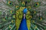 Thumbnail Peacock, male, courting Pavo cristatus