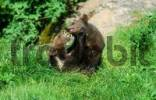 Thumbnail European Brown Bear cubs, playing Ursus arctos cub