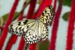 Thumbnail Paper Kite Idea leuconoe, tropical butterfly