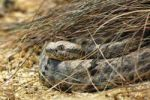Thumbnail Rock Rattlesnake Crotalus lepidus, in captivity