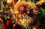 Thumbnail Sweet Chestnut fruits Castanea sativa